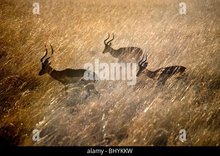 Male Impala running through grass, Mikumi NP, Tanzania, East Africa - Stock Photo