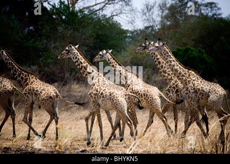 Masai Giraffe, Mikumi NP, Tanzania, East Africa - Stock Photo