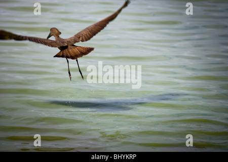 Hamerkop in flight, Selous Game Reserve, Tanzania, East Africa - Stock Photo