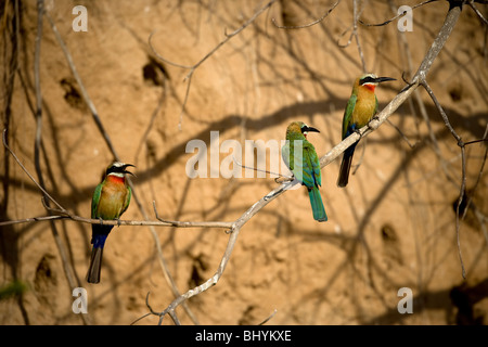 White-Fronted Bee-Eater, Selous Game Reserve, Tanzania, East Africa Stock Photo