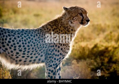 Cheetah on the hunt, Serengeti NP, Tanzania, East Africa - Stock Photo