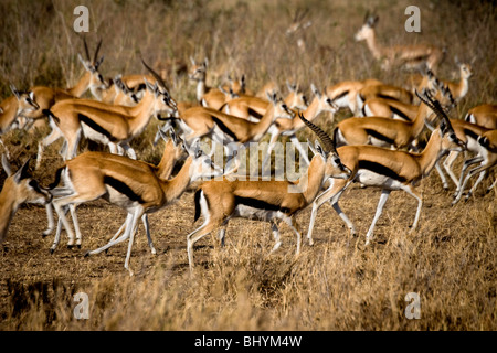 Thomson's Gazelle, Serengeti NP, Tanzania, East Africa - Stock Photo