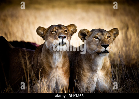 Lioness, Serengeti NP, Tanzania, East Africa - Stock Photo