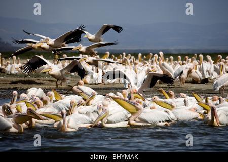 Great White Pelican, Lake Nakuru NP, Kenya, East Africa - Stock Photo