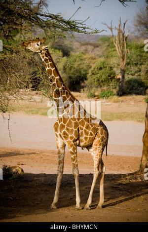 Reticulated Giraffe, Samburu National Reserve, Kenya, East Africa - Stock Photo