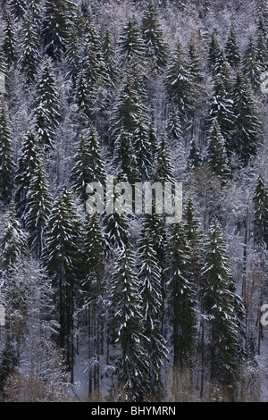 Norway Spruce ( Picea abies ) forest in winter snow, on the Col de Faucille, Jura Mountains, east France. - Stock Photo