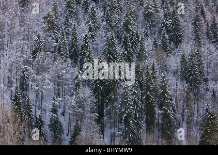 Norway Spruce ( Picea abies ) forest winter snow, on the Col de Faucille, Jura Mountains, east France. - Stock Photo