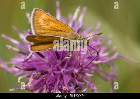Lulworth Skipper - Thymelicus acteon. Female - Stock Photo