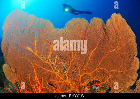 scuba diver on colorful coral reef with giant fan gorgonian, Gorgonian Reef, Pemuteran, Bali - Stock Photo