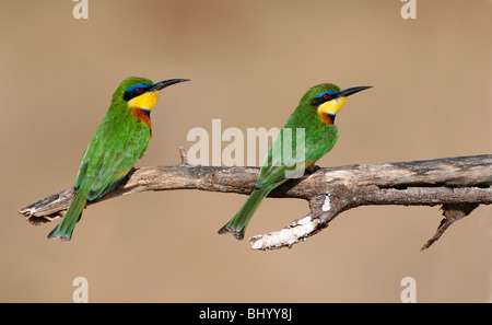 Little Bee-eater Merops pusillus East and Sub Saharan Africa Stock Photo