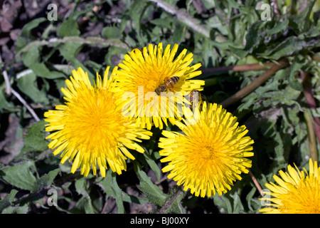 Honeybee Apis on Wild Dandelion Taraxacum officinale E USA, by Dembinsky Photo Assoc - Stock Photo