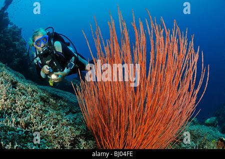 Ctenocella cercidia, Ellisella cercidia, Ellisella ceratophyta, female scuba diver with red whip corals, Tulamben. - Stock Photo