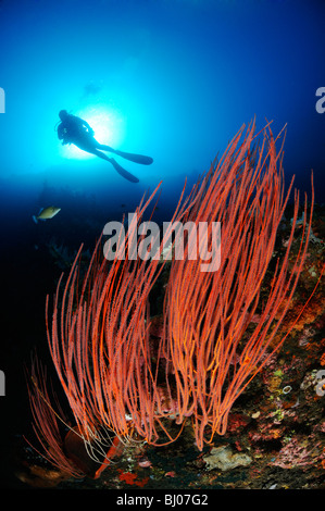 scuba diver with red whip corals, Drop Off, Tulamben, Bali - Stock Photo