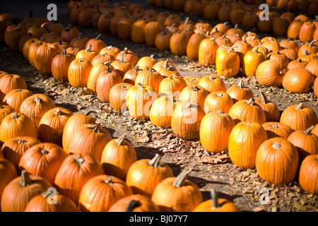 Rows of pumpkins at the pumpkin patch. - Stock Photo