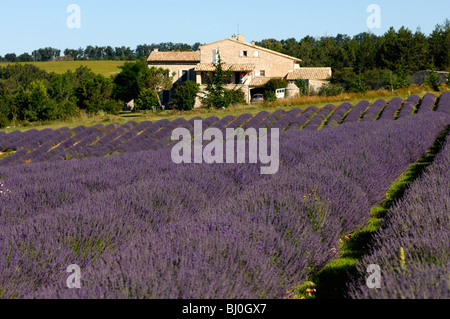 Row cultivation of lavender near Sault, Provence, France - Stock Photo