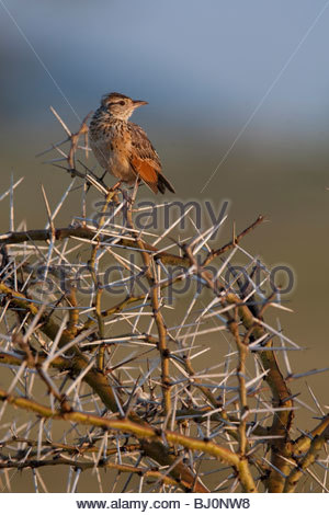 A Rufous-naped Lark (Mirafra africana) on a Acacia tree. Serengeti National Park, Tanzania. - Stock Photo