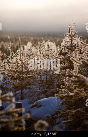 Frosty Pine ( pinus sylvestris ) saplings in Finnish forest at Winter , Finland - Stock Photo