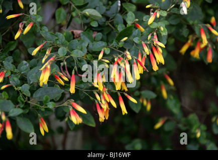 Red Wing, Heteropterys glabra, Malpighiaceae, Barbados Cherry Family. - Stock Photo