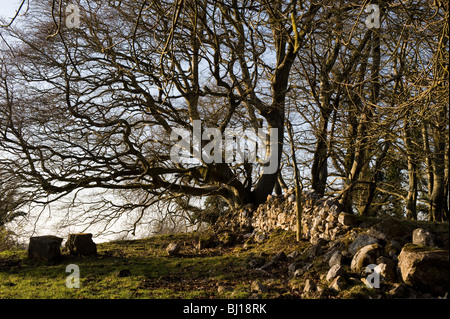 Fallen down ancient stone wall in a field, Keelogues, Co. Mayo, Ireland. - Stock Photo