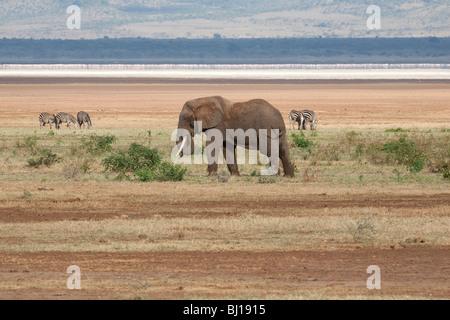 African Elephant and Zebra grazing on the plains of Lake Manyara, Tanzania - Stock Photo