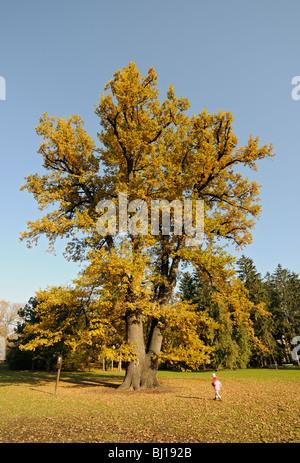 Rudolph's Oak, 250 years old Pedunculate Oak (Quercus Robur or Q. Pedunculata) at Smetana Gardens in Olomouc, Czech - Stock Photo