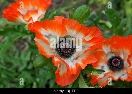 oriental poppies  (Papaver Orientale) growing in an  English garden - Stock Photo