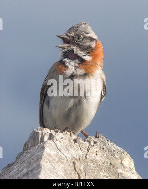 Rufous Collared Sparrow (zonotrichia capensis), Patagonia, Chile - Stock Photo