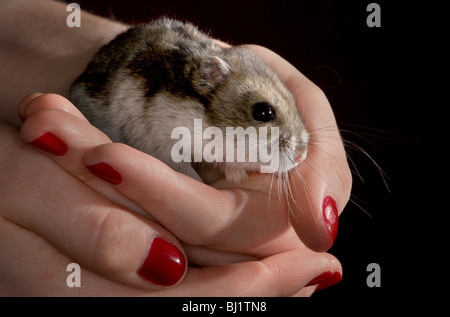 Girl cradling a tiny winter white dwarf hamster in her hands - Stock Photo