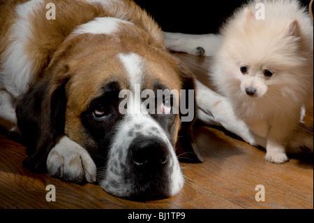 Small pomeranian puppy walking by a large st bernard on a wood floor - Stock Photo