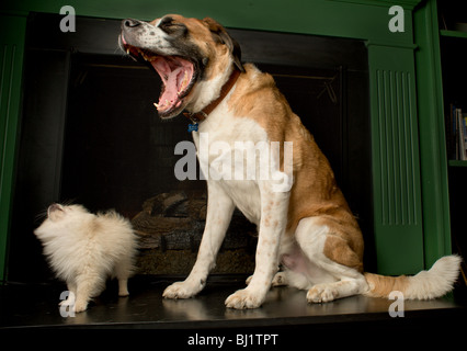 Small pomeranian puppy looking at up a large yawning st bernard - Stock Photo
