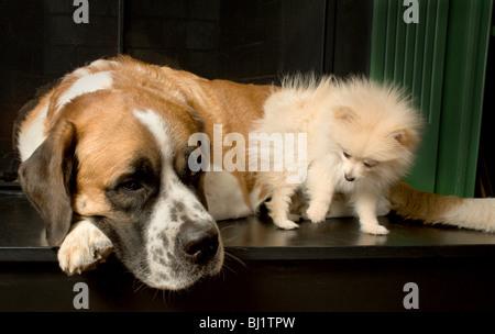 Small pomeranian puppy looking at a large st bernard - Stock Photo