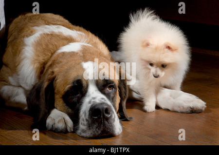 Small pomeranian puppy walking by a large sleepy st bernard - Stock Photo