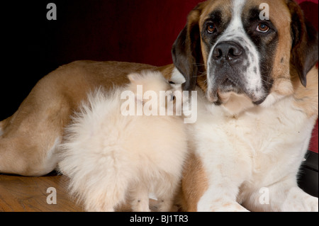 Small pomeranian puppy looking at a large st bernard on a wood floor - Stock Photo
