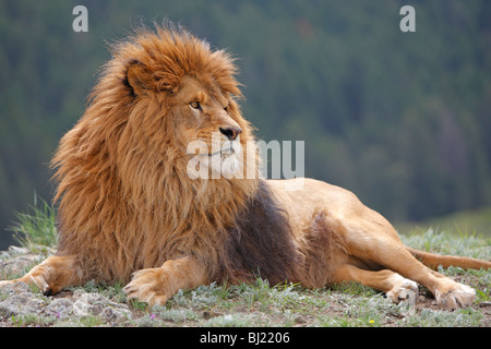 Barbary Lion (Panthera leo leo), lying male. - Stock Photo