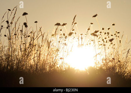 The silhouette of flowers on a meadow against a sunset, Sweden. - Stock Photo