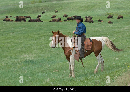 Cowboy in front of Bison (Bison bison) herd. Custer State Park, South Dakota, USA. - Stock Photo