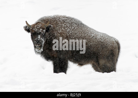 European Bison, Bison bonasus, young bull, covered in snow, Germany - Stock Photo