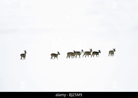 Roe deer, Capreolus capreolus, herd in winter in snow wilderness, Harz mountains, Lower Saxony, Germany  - Stock Photo