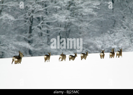 Roe deer, Capreolus capreolus, herd moving across snow covered field in winter, Harz mountains, Lower Saxony, Germany - Stock Photo