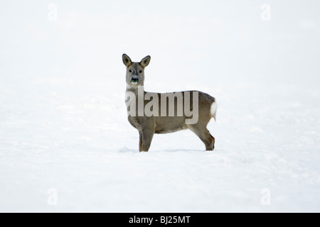 Roe deer, Capreolus capreolus, alert on snow covered field in winter, Harz mountains, Lower Saxony, Germany  - Stock Photo