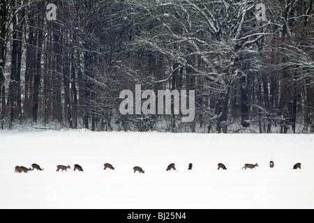 Roe deer, Capreolus capreolus, herd feeding on field in winter, Harz mountains, Lower Saxony, Germany  - Stock Photo