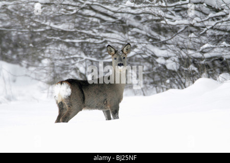 Roe deer, Capreolus capreolus, at edge of snow covered woodland in winter, Harz mountains, Lower Saxony, Germany - Stock Photo