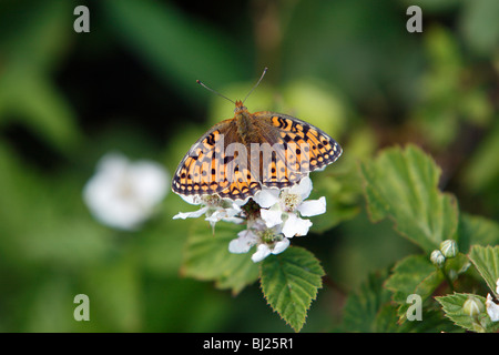 Niobe Fritillary Butterfly Argynnis niobe), resting in the sun, Island of Texel, Holland - Stock Photo