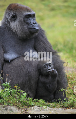 Western Lowland Gorilla (Gorilla gorilla gorilla), female with young - Stock Photo