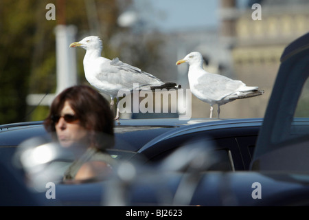 Herring Gull (Larus argentatus), two perched on car roof, Texel, Holland - Stock Photo
