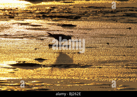 Herring Gull (Larus argentatus), feeding on estuary at dawn, Texel, Holland - Stock Photo