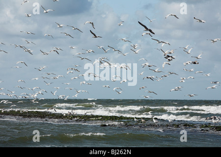 Herring Gull (Larus argentatus), flock flying over the shoreline, Texel, Holland - Stock Photo