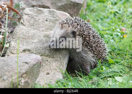 European Hedgehog (Erinaceus europaeus) young animal in garden - Stock Photo