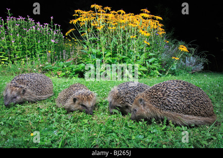 European Hedgehog (Erinaceus europaeus) 4 animals feeding in garden at night - Stock Photo