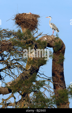 Grey Heron (Ardea cinerea), perched on old pine tree, at white stork and heron colony, Portugal - Stock Photo